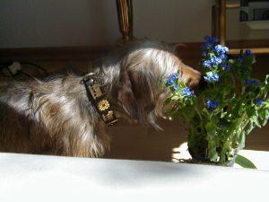 Vergissmeinnicht - Dietmar Moews fotografierte den Blumenfreund
