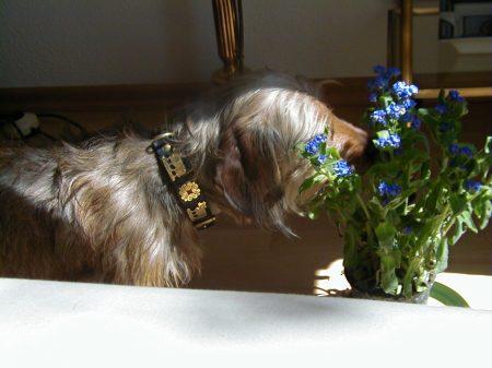 Purzel frisst Blumen: Vergissmeinnicht die Schiedsrichterpfeife